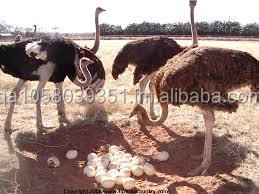OSTRICH EGGS AND QUALITY OSTRICH CHICKS
