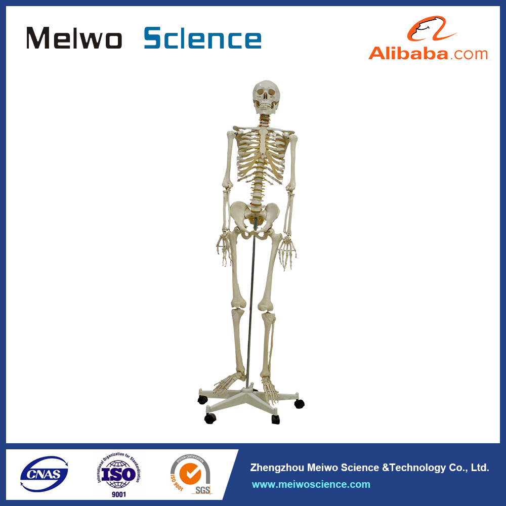 Life-size Human 170cm Skeleton Medical Anatomical Model