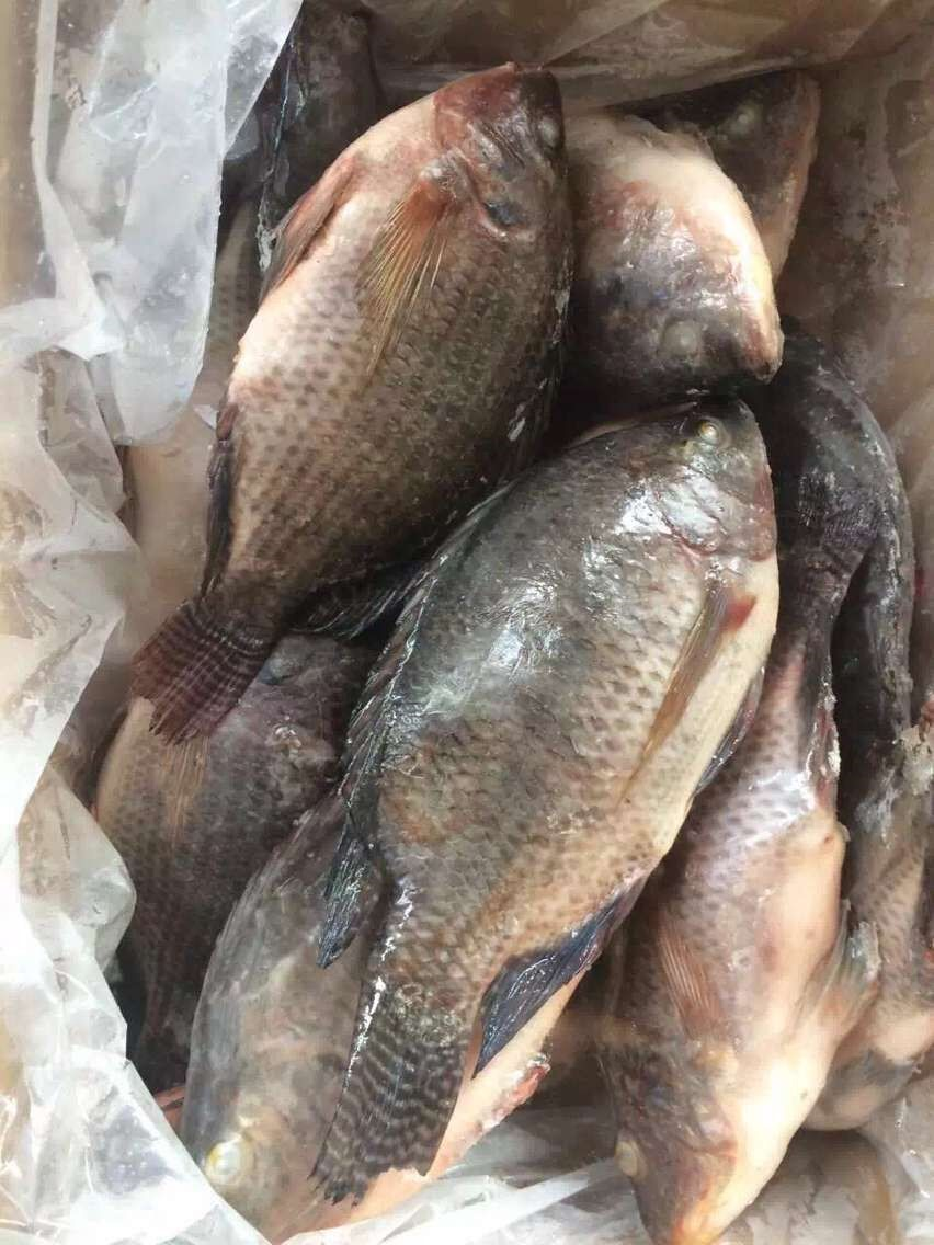 Good chinese frozen black tilapia fish price buy good for Is tilapia a fish