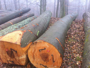 European Beech Round Logs