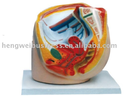 The model of female pelvic cavity(sagittal section)