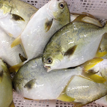 New Arriving Frozen Golden Pomfret Fish for Malaysia Market