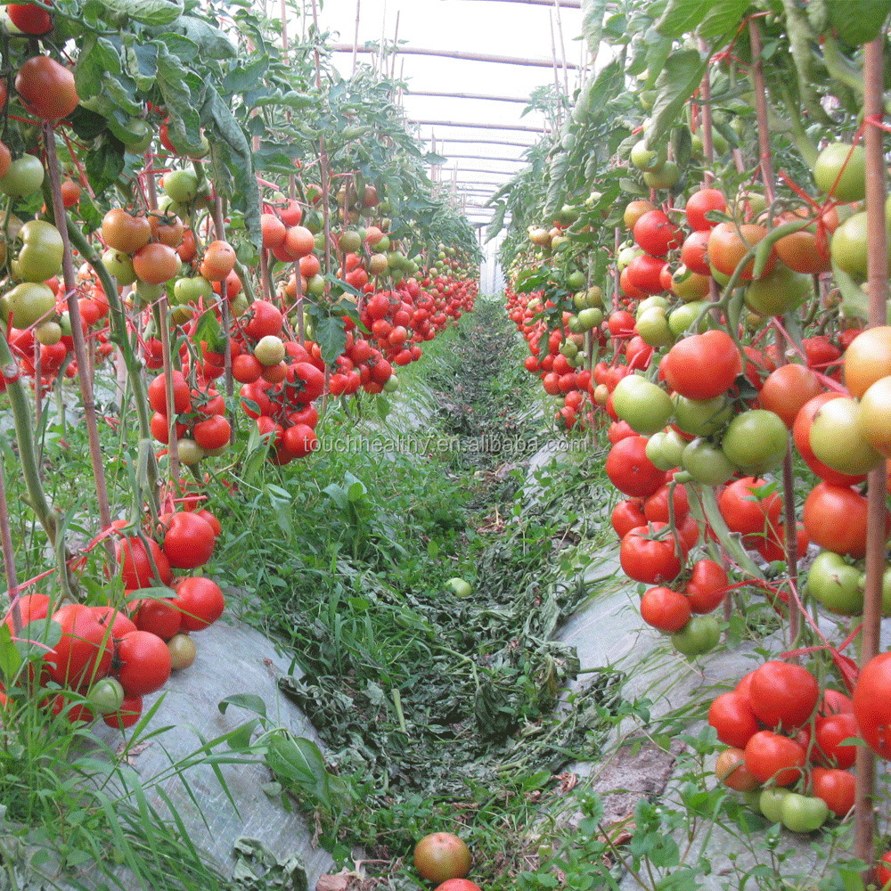 2017 High germination hybrid tomato seeds from china