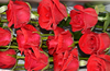 /product-detail/bare-root-plants-bare-root-roses-in-fresh-cut-flowers-for-sale-60627375121.html