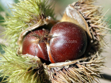 No pollution fresh chestnuts/health food/dried chestnuts for sale