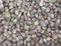Hemp Seeds For Sale , Industrial Hemp Seeds