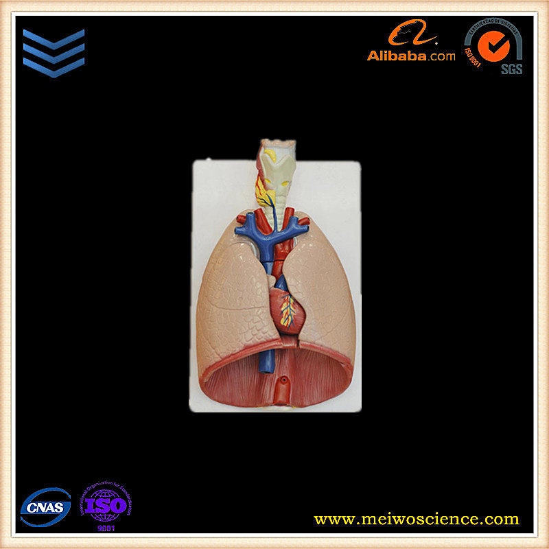 Larynx,heart and lung anatomical model plastic medical anatomy models