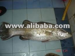 MAHSEER FISH / KELAH FISH / SULTAN FISH