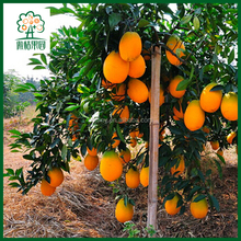 Sweet Fresh Large Oranges for Export