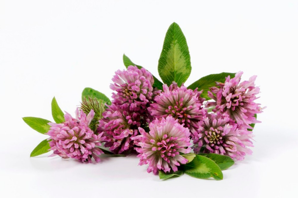 high quality 2.5% 8% 20% 40% Red Clover Extract
