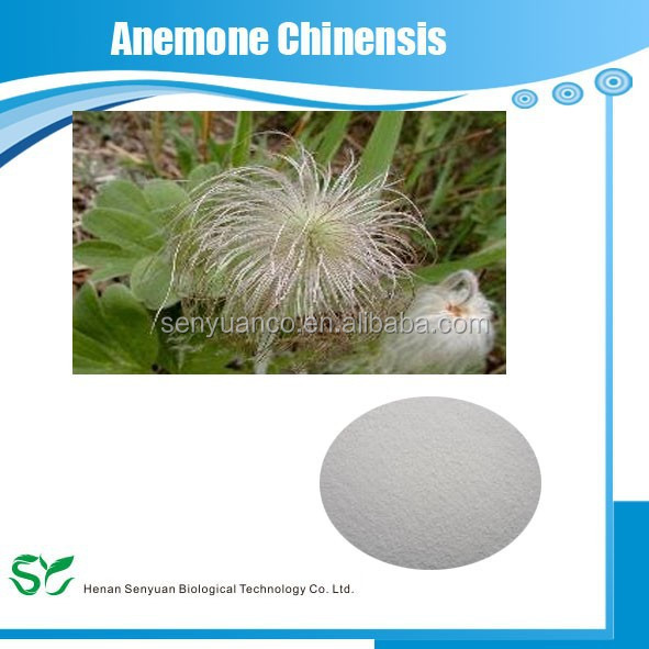 Chinese anemone root is a related herb used in traditional Chinese medicine . Bai tou weng, as it is refe