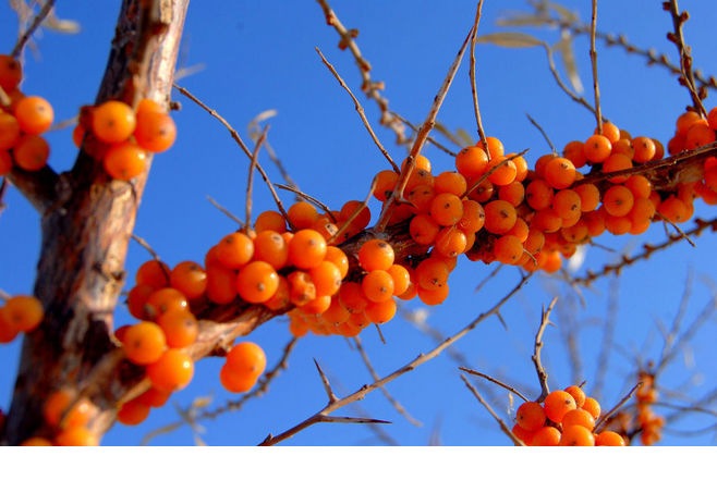 Top Quality Pure Sea buckthorn Fruit Oil