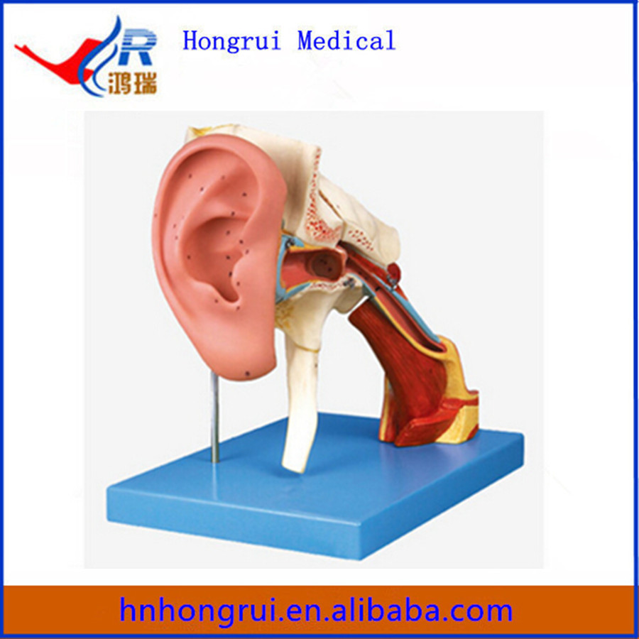 High Quality Enlarged Ear construction Anatomical Model for Sale