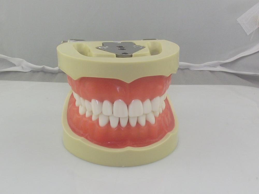 dental education models,teeth and dental models,typodont teeth for dental university