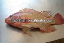 FROZEN RED TILAPIA WHOLE ROUND FOR SALE