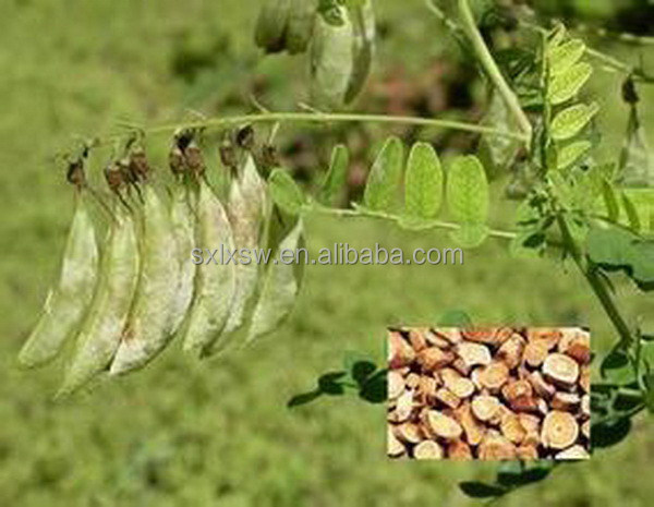 All flavors pure exported astragalus mongholicus extract