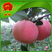 Mature apples 100 - 125 size fresh red delicious apple