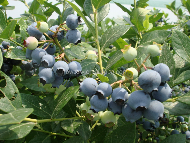 anti cancer bilberry extract powder good price