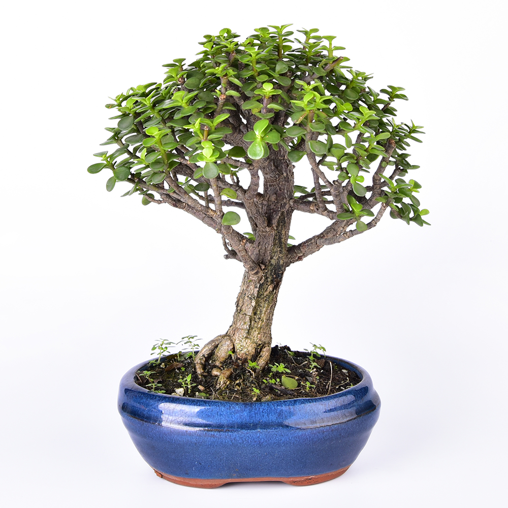 Portulacaria afra Ball Shape Bare Root live goods bonsai live plants
