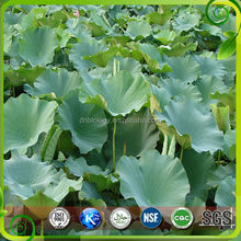 100% Natural Flavone Alkaloids 2.5% Lotus leaf Extract