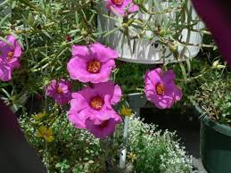 Portulaca grandiflora pink & white Office Time Double Pink & White Purslane