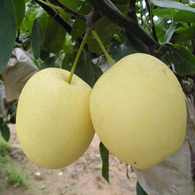 Selling delicious crown pear from China