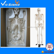 170cm Life Size Skeleton Medical Model