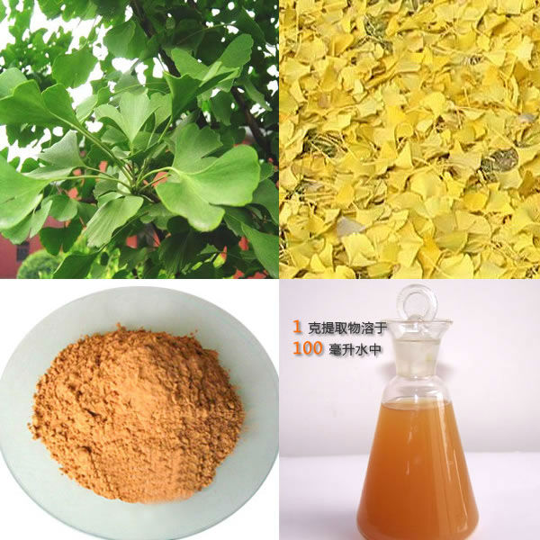 Top Quality Ginkgo Biloba Extract 24% Ginkgo flavone and 6% Terpene Lactone