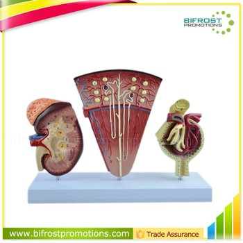 Vivid Medical Human Body Anatomy Model Kidney