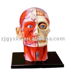 human head model (anatomical model ,educational model,4D model ,4D master)