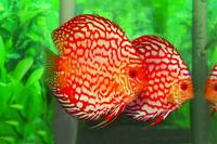 AQUARIUM FISH PIGEON BLOOD DISCUS