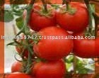 """BEST QUALITY TOMATO SEED OIL"""