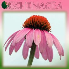 One Hundred Percent Natural Echinacea Extract