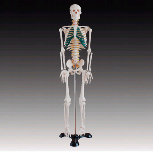 BIX-A1004 85CM Medical human skeleton anatomic <strong>model</strong> with nerves