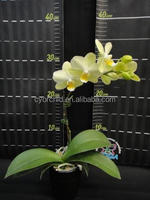 CYS45-2_Popular Green & yellow mini Daily Orchid in Taiwan