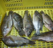 large quantity frozen fish chinese raised sea bream 500-800g