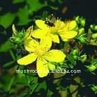 Hypericum perforatum L;St john wort extract;Common St.John's wort Herb, all-grass of Common St. John's wort