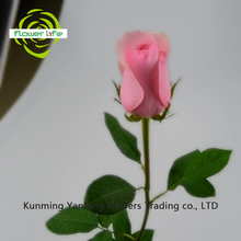 Long Time Lasting Fresh Cut Roses Rose Nirvana with 5-8cm Big Bud China Rose Is Red From Yanbing/Kunming