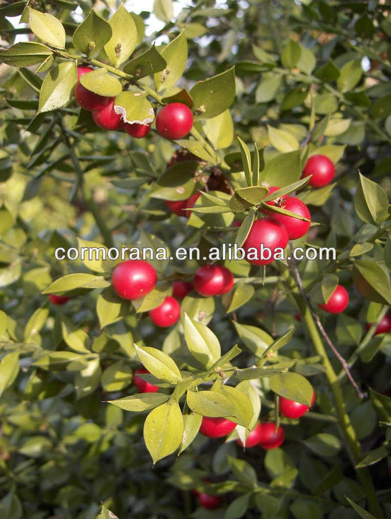 Butcher's broom (Ruscus aculeatus), Butcher's broom Extracts, Ruscus aculeatus Extracts
