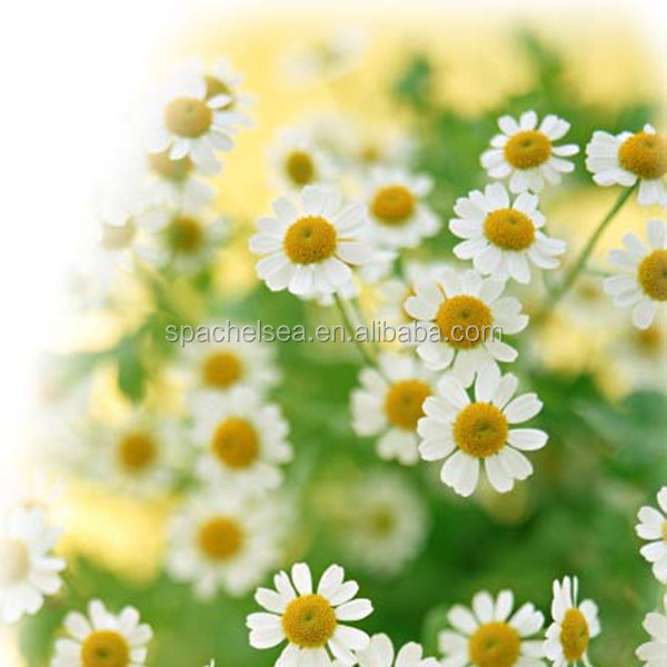 wholesale 100 Pure chamomile essential oil