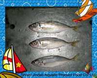 New comming big eye frozen round scad fish