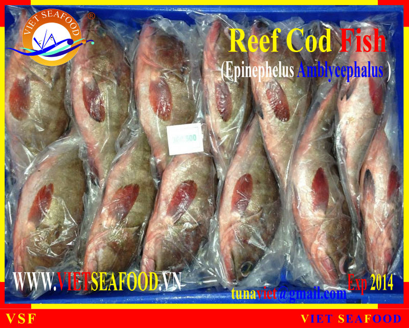 FROZEN REEF COD FISH WHOLE ROUND
