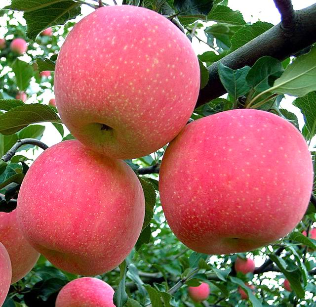 High quality new crop Fiji Apples