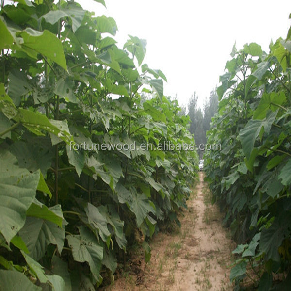 Chinese Best survive paulownia seed with certificate
