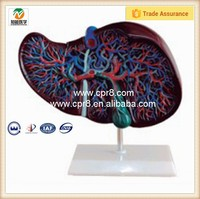 Liver model, medical anatomical model BIX-A1048