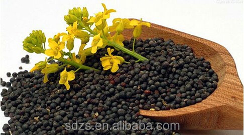Ukraine new harvest rapeseed with high oil content