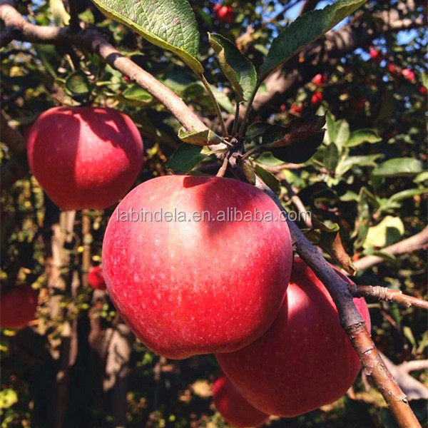 Import red star apple fruit with best price for fresh red star apple