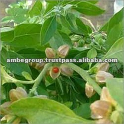 Ashwagandha Root Extract, Indian Ginseng, Withania Somnifera Extract