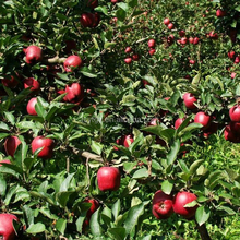 New Fresh Red Huaniu apple Red Delicious apple Exporter in China