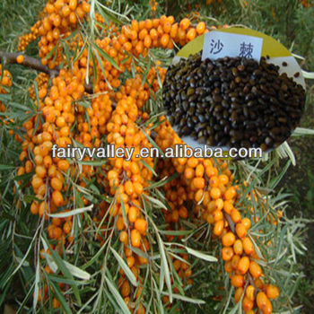 Hippophae rhamnoides seed sea buckthorn seeds for growing high economic value can harvest more - Growing sea buckthorn ...